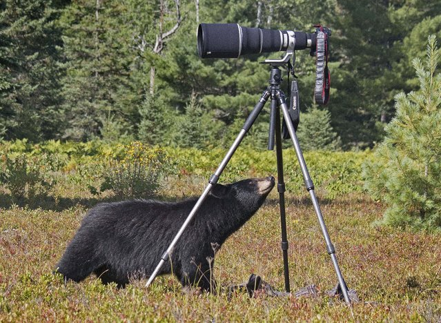 A brave bear turned photographer when she was seen playing with a camera in these incredible pictures. While bears are known for hibernating in the forests during the winter months, this cuddly creature was keen to get behind the camera as well as in front of it. Photographer Marc Latremouille snapped the rare moment in September when he was exploring Provincial Park in Ontario, Canada. (Photo by Marc Latremouille/Caters News)