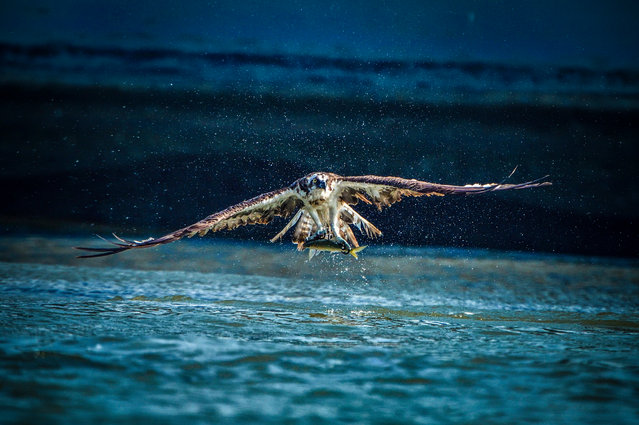 Beads of water stream from an osprey's wings in a photograph taken a split second after the bird swooped to snatch a fish from the Onga river in Fukuoka prefecture, Japan on October 3, 2016. (Photo by Tristan Joe Emoto/Solent News)
