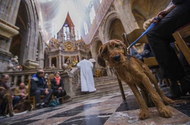 A dog sits among faithfuls during a religious service ahead of a blessing ceremony for animals at the Basilica of St Peter and Paul in Saint-Hubert, Belgium November 3, 2015. (Photo by Yves Herman/Reuters)