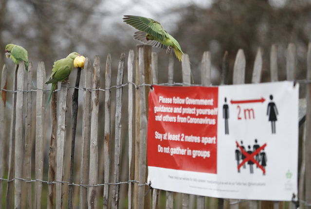 Rose-ringed parakeet squabble over an apple left on wooden railing next to a sign urging social distancing due to the coronavirus pandemic in Kensington Gardens, London, Thursday, January 21, 2021. The parakeets are a feral non native species thought to originate from escaped pets. There are thought to be over 30,000 parakeets in the wild in Britain. (Photo by Alastair Grant/AP Photo)