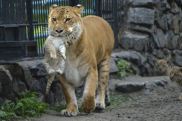 In this Tuesday, June 18, 2013 photo, Zita, a liger – half-lioness, half-tiger – carries her one month-old liliger cub in the Novosibirsk Zoo. The cub's father is a lion, Sam. (Photo by Ilnar Salakhiev/AP Photo)
