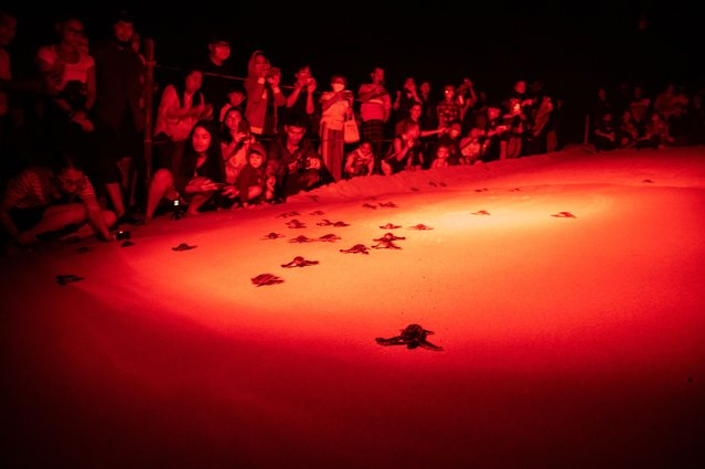 Under dim glow of less-intrusive red lighting, visitors are seen gathering around the beach to watch the release of Leatherback sea turtle hatchlings into the sea on February 03, 2021 in Phang Nga, Thailand. With limited tourism activities along the Andaman Coast of Thailand, and possibly with reproductive cycle of the Leatherback sea turtle (Dermochelys coriacea), these highly threatened species of sea turtle assessed as Vulnerable in the IUCN Red List are returning to nest along the sandy beach of Phang Nga and Phuket in record-breaking number with at least 17 nests, the highest number of nests recorded within one nesting season for over a decade in Thailand. (Photo by Sirachai Arunrugstichai/Getty Images)