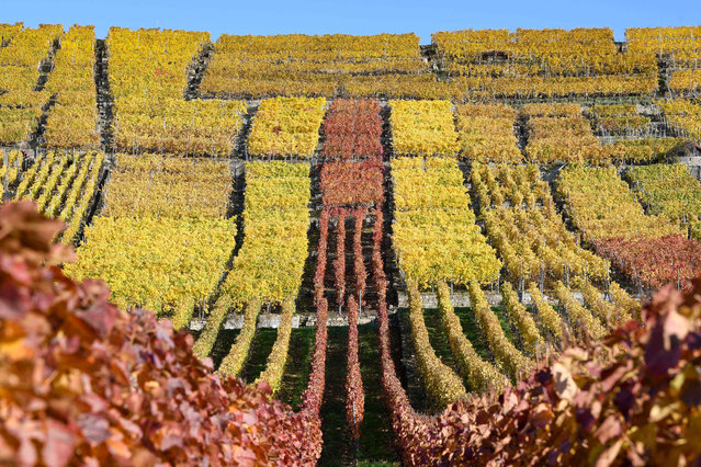 Autumnally coloured vineyards are seen in Hessigheim, southern Germany, on November 5, 2020. (Photo by Thomas Kienzle/AFP Photo)