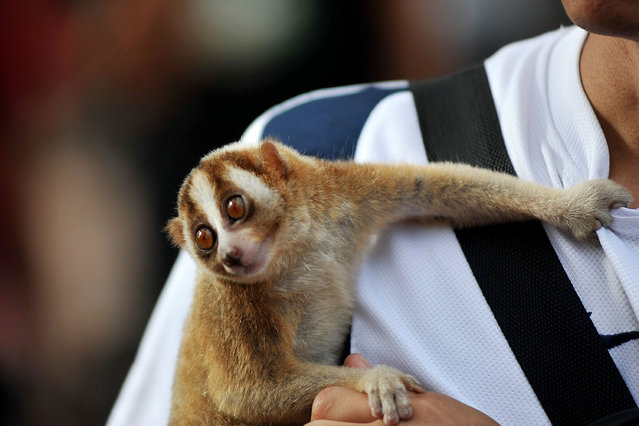 An animal lover shows the Sunda slow loris during gathering with the community on January 25, 2015 in Jakarta, Indonesia. Animal lovers invite people to love and protect all reptiles of poaching in order to avoid extinction. (Photo by Jefta Images/Barcroft Media)
