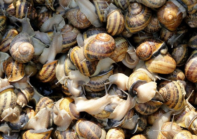 Snails (Helix Aspersa) sit in a basket in a farm in Vienna July 10, 2013. Andreas Gugumuck owns Vienna's largest snail farm, exporting snails, snail-caviar and snail-liver all over the world. The gourmet snails are processed using old traditional cooking techniques and some are sold locally to Austrian gourmet restaurants. (Photo by Leonhard Foeger/Reuters)