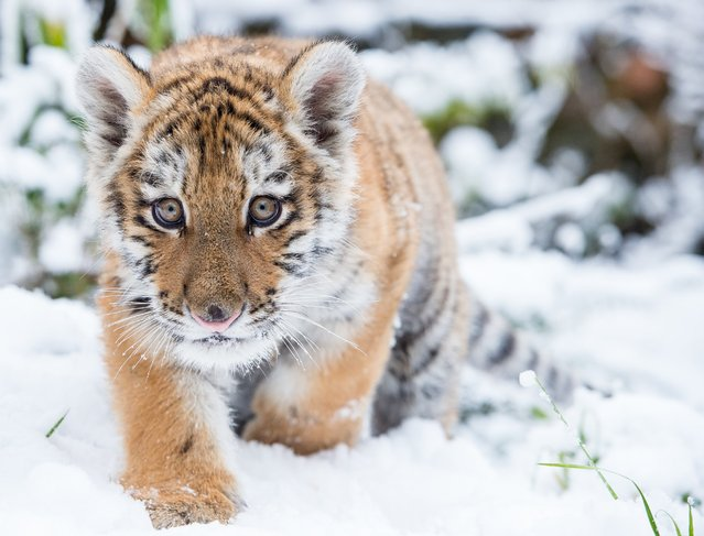Dragan, the small Siberian tiger, also known as an Amur tiger, walks through the fresh snow in his enclosure at the zoo in Eberswalde, Germany, 31 January 2015. (Photo by Patrick Pleul/DPA)