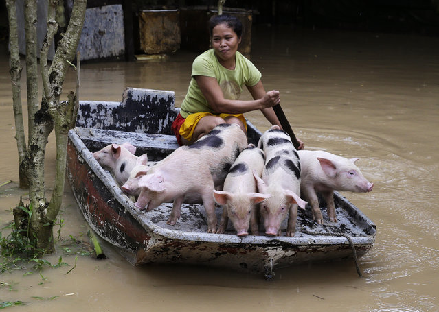 Evangeline Garcia paddles a boat-load of piglets to safety at a flooded village in Quezon city, metropolitan Manila, Philippines on Friday, July 20, 2018. Southwest monsoon rains brought about by a tropical storm continue to flood parts of the metropolitan and provinces causing school and work suspensions. (Photo by Aaron Favila/AP Photo)