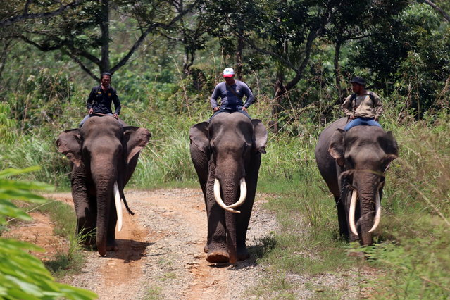 Men sit atop elephants as they patrol to prevent conflicts between wild elephants which enter settlements and plantations in Bener Meriah, Aceh province, Indonesia on March 15, 2021. (Photo by Irwansyah Putra/Antara Foto via Reuters)