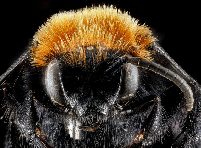 Melecta species, face, Park County, Wyoming. (Photo and caption by Sam Droege/USGS Bee Inventory and Monitoring Lab)