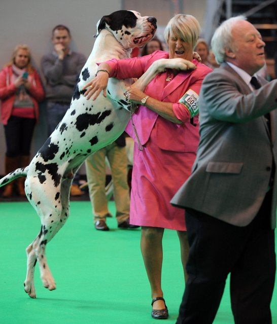 A great dane with its owner after they first in their class during the second day of Crufts dog show at the National Exhibition Centre on Friday March 6, 2015 in Birmingham, England. First held in 1891, Crufts is said to be the largest show of its kind in the world, the annual four-day event, features thousands of dogs, with competitors travelling from countries across the globe to take part and vie for the coveted title of 'Best in Show'. (AP Photo/Rui Vieira)