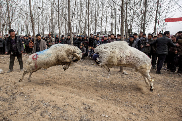A photograph made available on 10 March 2015 showing people watch a fight between male small-tail han sheep in Hanhejing village in Huaxian county in central China's Henan province 09 March 2015. Over 40 sheep fighting enthusiasts from surrounding areas brought their sheep for the traditional fight.  EPA/WANG ZIRUI CHINA OUT