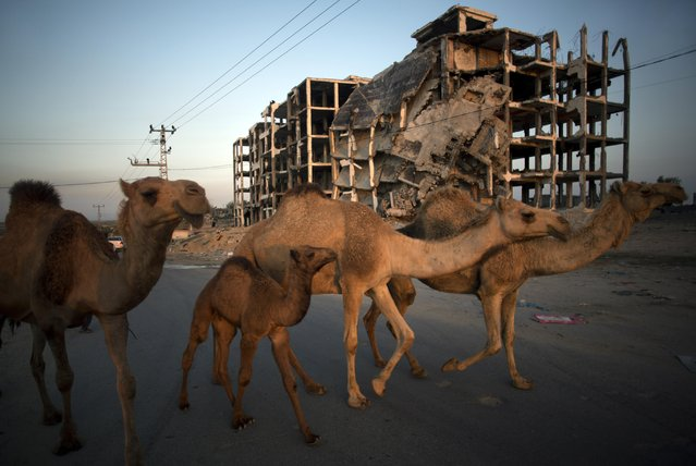Camels are led home through the damaged Nada Towers residential neighborhood after grazing, in the town of Beit Lahiya, northern Gaza Strip, Monday, March 30, 2015. Despondent over the slow pace of post-war reconstruction, displaced Gazans have begun to return to their damaged homes, patching up the structures with blankets and plastic sheets and living in the unstable and unsafe structures while they wait for promised aid to arrive. (Photo by Khalil Hamra/AP Photo)