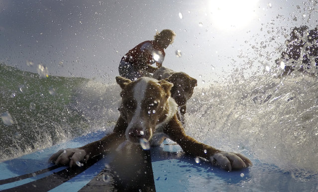 Australian dog trainer and former surfing champion Chris de Aboitiz (REAR) rides a wave with his dogs Rama (FRONT) and Millie off Sydney's Palm Beach, February 18, 2016. (Photo by Jason Reed/Reuters)