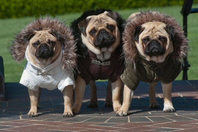 The pugs dressed in Parka jackets in Sonoma County, California. (Photo by Phillip Lauer/Barcroft Media)