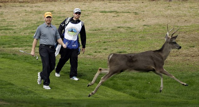 Troy Matteson, left, walks down to the third green of the Monterey Peninsula Country Club Shore Course as a buck runs out of the way during the first round of the AT&T Pebble Beach Pro-Am golf tournament in Pebble Beach, on February 6, 2014. (Photo by Eric Risberg/Associated Press)