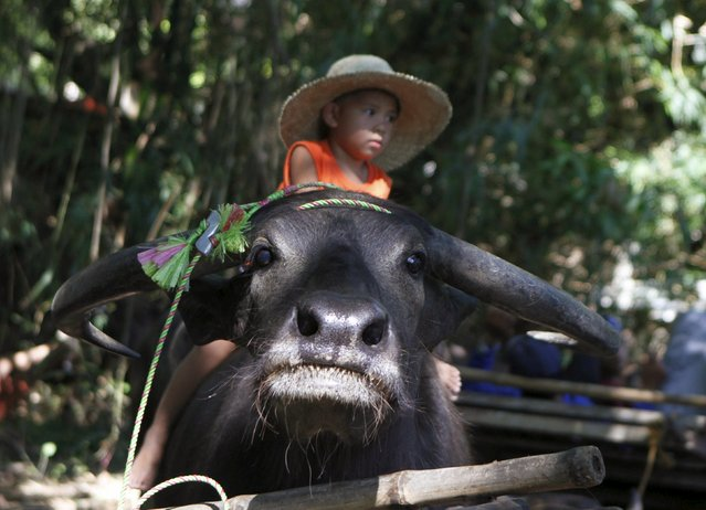 A boy rides on a carabao during the annual Carabao Festival in Pulilan, Bulacan in northern Philippines May 14, 2015. (Photo by Gina Minguito/Reuters)