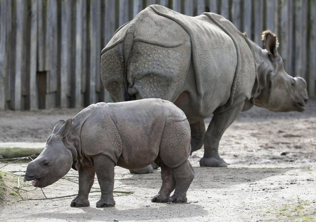 Qabid, a three-month old Indian rhinoceros, stays next to his mother Karamat at the Planckendael Park in Mechelen, Belgium  March 30, 2016. (Photo by Yves Herman/Reuters)