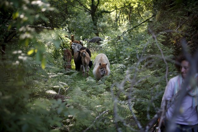 Lisa Vella-Gatt, 46, walks with her alpacas by a valley near Benfeita, Portugal May 11, 2015. (Photo by Rafael Marchante/Reuters)