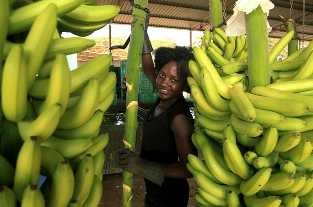 A woman carries bananas at a plantation in Caxito, Angola, May 14, 2015. After decades of civil war destroyed Angola's fertile farmland and a booming oil industry pushed out all other commerce, banana plantations are thriving again in the tropical plains of Caxito, to such an extent that Angola, which imports 90 percent of its food at a cost of $5 billion a year. (Photo by Herculano Coroado/Reuters)