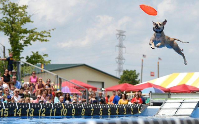 Coconut makes an attempt at catching a Frisbee while jumping for distance over a pool during the Canine Stars show during the Lake County Fair, Friday, July 26, 2019, in Grayslake, Ill. All dogs in the show are rescues. (Photo by Rick West/Daily Herald via AP Photo)