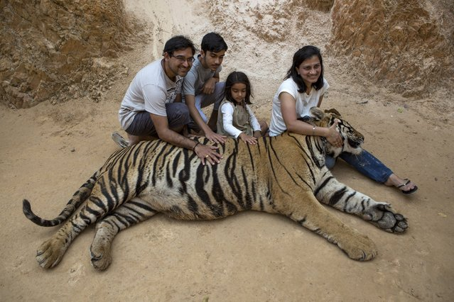 Visitors pose for photos at Tiger Temple in Kanchanaburi, Thailand, March 16, 2016. After complaints of trafficking in endangered species, the government is trying to shut down the attraction, and began removing the animals this year, but was ordered to stop after the temple filed a lawsuit in February. (Photo by Amanda Mustard/The New York Times)
