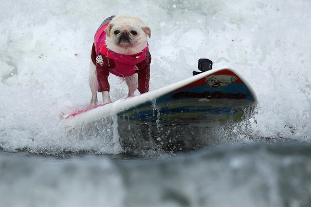 """A small dog competes in the 14th annual Helen Woodward Animal Center """"Surf-A-Thon"""" where more than 70 dogs competed in five different weight classes for """"Top Surf Dog 2019"""" in Del Mar, California, U.S., September 8, 2019. (Photo by Mike Blake/Reuters)"""