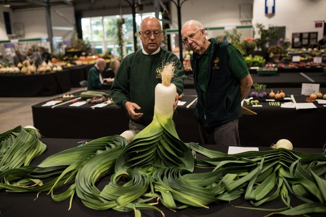 A judge inspects leeks on the first day of the Harrogate Autumn Flower Show held at the Great Yorkshire Showground, in Harrogate, northern England, on September 13, 2019. (Photo by Oli Scarff/AFP Photo)