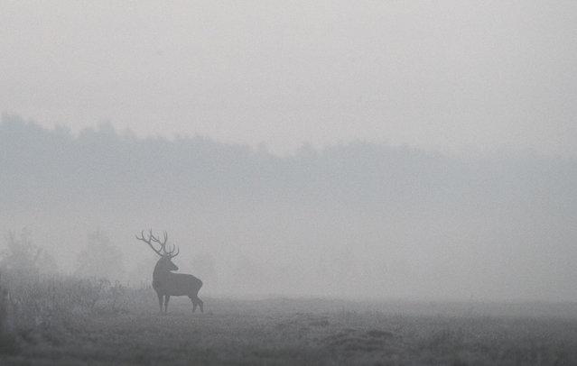 """A male deer is seen in a field in Republican landscape reserve """"Nalibokski"""" near the village of Kozliki, Belarus on September 27, 2019. (Photo by Vasily Fedosenko/Reuters)"""