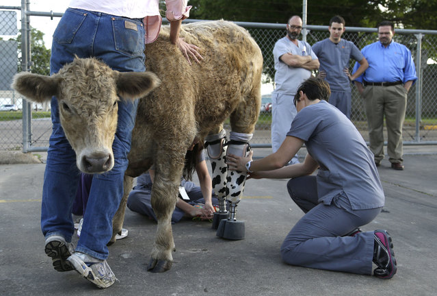 Hero is fitted with new prosthetic legs Wednesday, May 21, 2014, in Houston. The abandoned calf rescued from a Virginia farm a year ago and brought to Texas after it nearly died is getting permanent prosthetics to replace back hooves that had to be amputated because of frostbite. (Photo by Pat Sullivan/AP Photo)