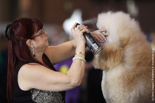 An owner applies hair spray to her Standard Poodle on Day one of Crufts at the Birmingham NEC Arena