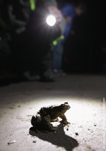 A volunteer approaches a male toad to pick him up from a road near Berlin