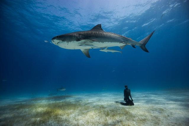 """El Tigre"". Freediving with the Tiger Sharks of the Bahamas. Photo location: Grand Bahamas. (Photo and caption by Eusebio Saenz de Santamaria/National Geographic Photo Contest)"