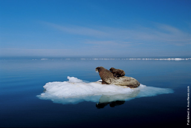 The female walrus and her calf. The photo was taken in the basin of Fox, North Bay. Arctic Ocean between the Peninsula and Melville. Baffin Plot of land, off the coast of Canada. Morzhiha got out on the ice floes, to protect your baby from the polar bears