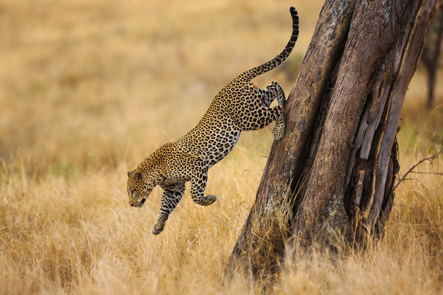 """Going down"". It was a late afternoon, we saw two leopards fighting on a tree top. After a short clashing one of the leopards gave up and jump down. Photo location: Serengeti national park Tanzania, Africa‬‏. (Photo and caption by Yoel Schlaen/National Geographic Photo Contest)"