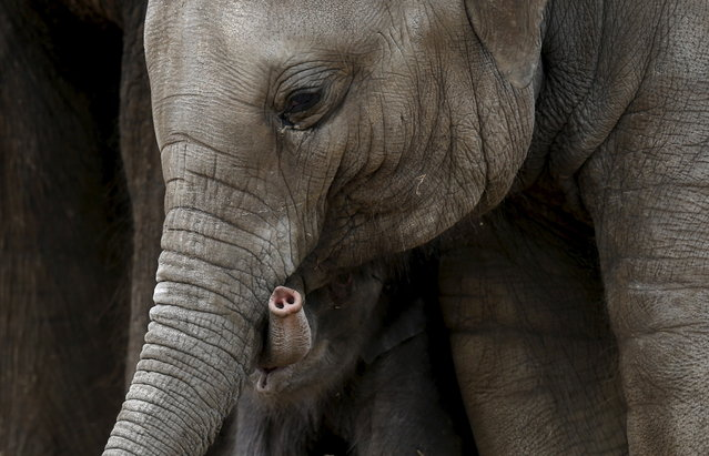 The trunk of a newborn Asian elephant is seen next to his mother Farina at Pairi Daiza wildlife park, a zoo and botanical garden in Brugelette, Belgium, May 25, 2015. (Photo by Francois Lenoir/Reuters)