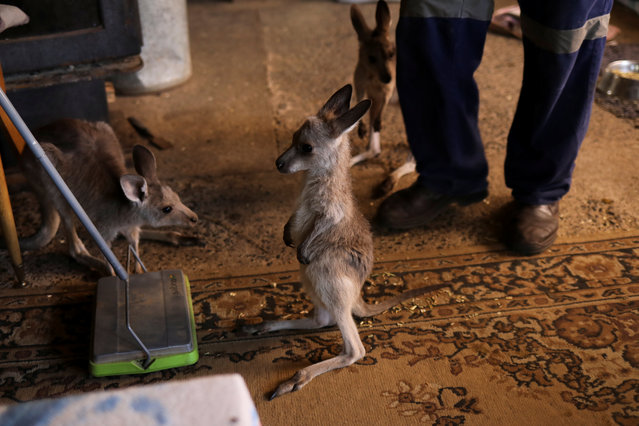 An orphaned kangaroo joey that was rescued during the bushfire season, stands inside the living room of partners Gary Wilson and Julie Willis's home, both of whom are animal carers, in the community of Wytaliba, New South Wales, Australia on January 28, 2020. (Photo by Jorge Silva/Reuters)