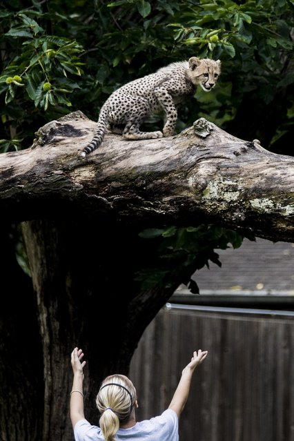 Cheetah cub keeper Regina Bakely prepares to catch a cheetah cub as it climbs out on to a limb as two cubs make their public debut at the Smithsonian National Zoo on July 24, 2012 in Washington, DC