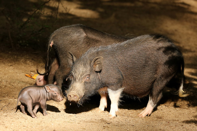 "Five micropigs born to mother, ""Truffel"", are seen in Zoo Wuppertal on August 11, 2014 in Wuppertal, Germany.  The five micropigs are the major attraction of Zoo Wuppertal. Pigedy, Fiete, Frederik, Smartie are 4 males and is Keks is a female micropig. (Photo by Animal Press/Barcroft Media)"