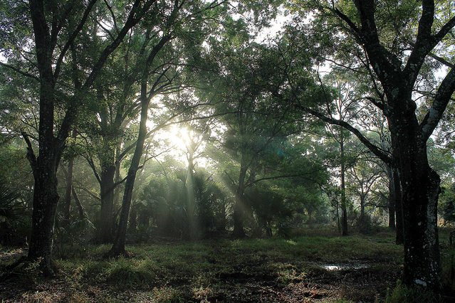 "Honorable Mention, Landscapes And Scenics. ""Laurel Oak Forest At Sunrise"". (Photo by Ann Mathews/The Palm Beach Post)"