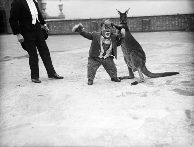 Six Foot, a midget circus performer tries a practice round with a boxing kangaroo before a show at Kingston-on-Thames. 8th December 1932.