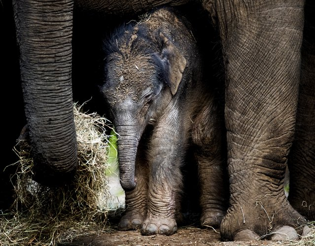 A newborn elephant takes his first steps in his outdoor residence on September 25, 2017 in the DierenPark Amersfoort Zoo in Amersfoort. Mother Kina gave birth on September 25 to a small baby elephant at the DierenPark Amersfoort Zoo in Amersfoort. (Photo by Koen van Weel/AFP Photo/ANP)