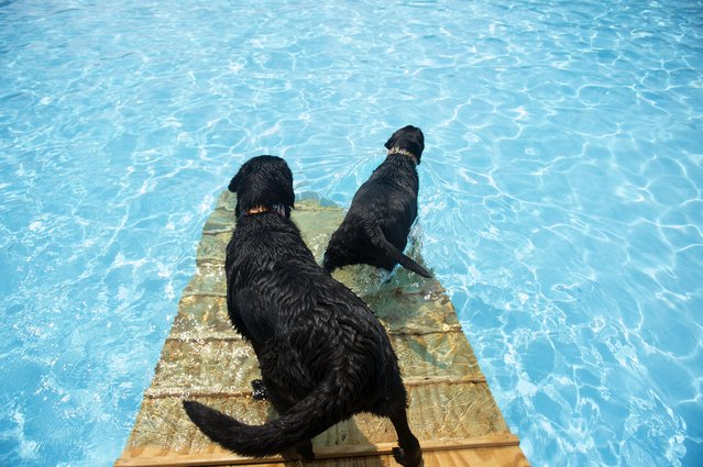 """Labradors Frodo and Jackson enter Inskip Pool during the Parks and Recreation Department's fifth annual """"Doggie Dip Day"""" Sunday, September 7, 2014, in Knoxville, Tenn. (Photo by Saul Young/AP Photo/Knoxville News Sentinel)"""