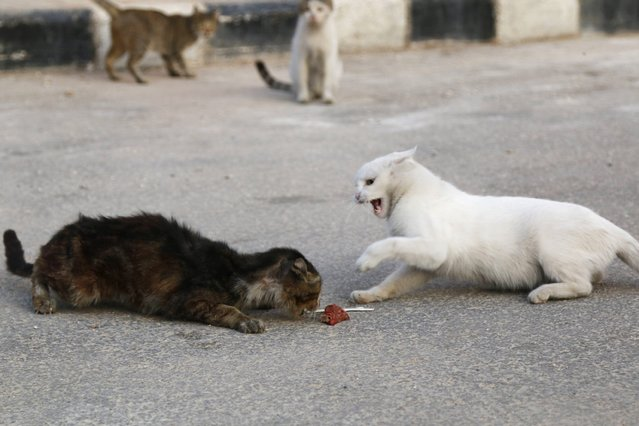 Cats fight over food that Alaa (not pictured), an ambulance driver, fed to them in Masaken Hanano in Aleppo, September 24, 2014. (Photo by Hosam Katan/Reuters)