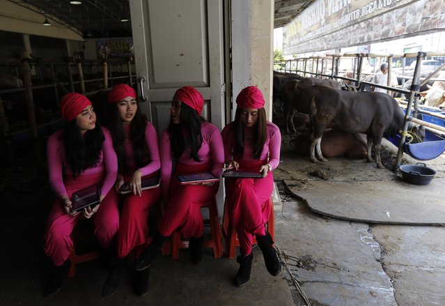 Salesgirls talk amongst themselves as they wait for customers while selling cows for the upcoming Eid al-Adha festival at a cow showroom in Depok, outskirt of Jakarta, September 30, 2014. (Photo by Reuters/Beawiharta)