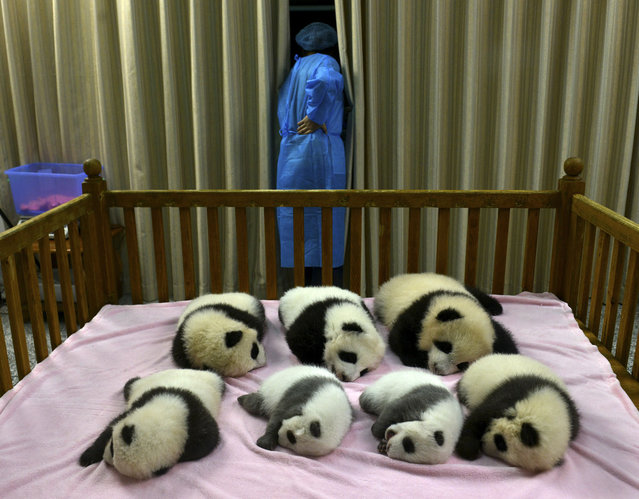 The Panda class of 2012 lays asleep at the Chengdu Panda Base in Chengdu, in southwestern China's Sichuan province, October 30, 2012. These seven cubs are the latest of 124 giant panda cubs who have been born at Chengdu Base since it's establishment in 1987. The Base had 85 litters with the total of 124 cubs, of which 88 survived, and 83 are still at the Base. (Photo by China Press/AP Photo)