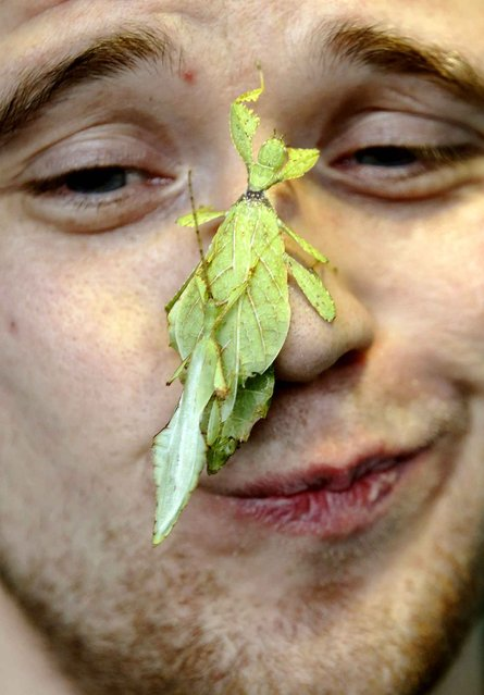 Zoo keeper Jeff Lambert poses with leaf insects during the annual stock take at London Zoo, January 3, 2013.  (Photo by Luke MacGregor/Reuters)