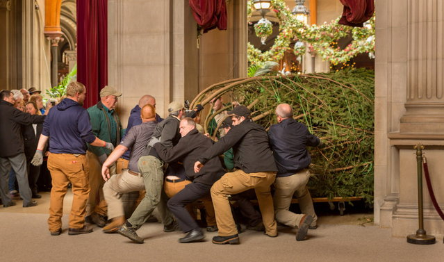 """About 2,500 people gathered at Biltmore in Asheville, N.C. Wednesday, November 5 to watch as employees and Santa delivered the official Biltmore Christmas tree, a 34-foot-high Fraser fir, and installed it inside the Banquet Hall. The annual """"tree raising"""" kicks off the Christmas season at Biltmore that starts Friday, Nov. 7 and continues through Jan. 11. (Photo by AP Photo/PRNewsFoto/Biltmore)"""