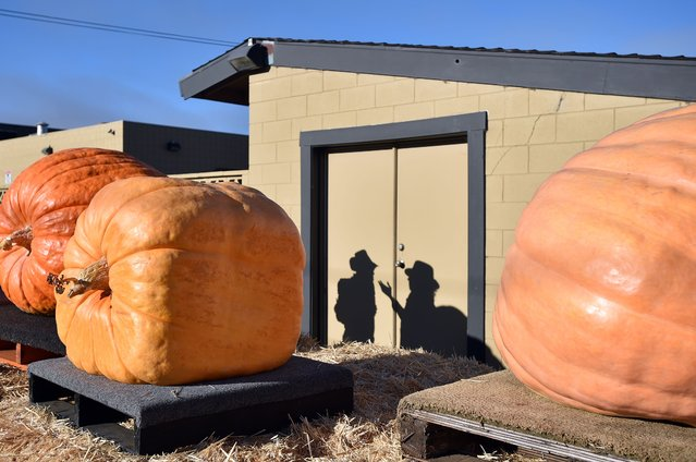 Shadows of people are cast on a wall near giant pumpkins during the 42nd annual Safeway World Championship Pumpkin Weigh-Off Contest in the World Pumpkin Capital of Half Moon Bay, California on October 12, 2015. The Safeway World Championship Pumpkin Weigh-Off is offering a special $30,000 mega-prize for the world record breaking pumpkin at the prestigious Half Moon Bay event. Photo by Josh Edelson/AFP Photo)