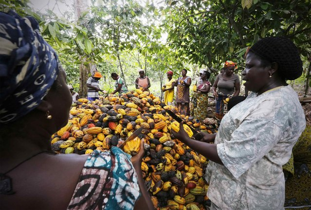 Women from a local cocoa farmers association called BLAYEYA work in a cocoa farm in Djangobo, Niable in eastern Ivory Coast, November 17, 2014. (Photo by Thierry Gouegnon/Reuters)