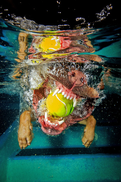 The Puggle bites down on a tennis ball. (Photo by Jonny Simpson-Lee/Caters News Agency)
